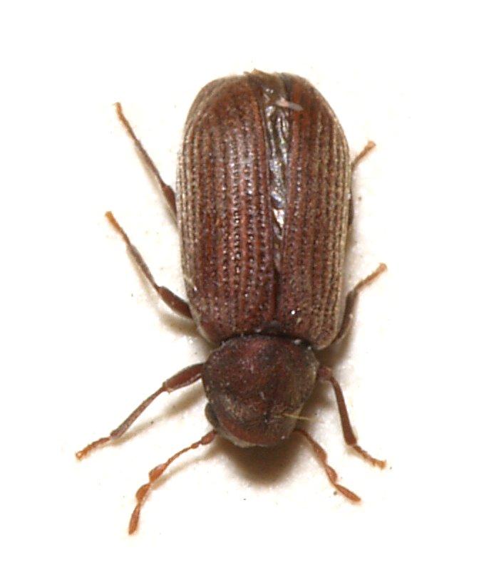 Servicios de control de carcoma termitas y hongos for Carcoma o termitas